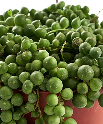 Shop Succulents | | Perfect String of Pearls Succulent Plant, Hanging Baskets or Trailing Planters, 6'' Pot, Hand Selected, Ideal for Home Décor or Holiday Events