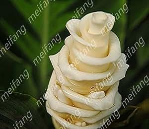 Las importaciones alemanas freeshipping 60pc de flores en maceta sedum radiación suculentas semilla maravillosa semilla carnosa de caracol blanco