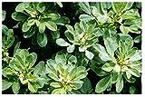 1000 Fenugreek Plant Seed Trigonella oenum-graecumme Culinary Herb