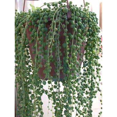String Of Pearls 5 Cuttings Succulent Cactus Senecio easy to root : Garden & Outdoor