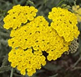 """HERB YARROW (ACHILLEA FILIPENDULENA) """"GOLDEN YARROW"""" FRAGRANT AND DELICATE FERN-LEAFED FOLIAGE SET OFF BY GOLDEN FLOWER CLUSTERS APPROX 505 SEEDS"""