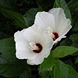 Live Pond Plant Rose Mallow White Hibiscus Marginal Bog One Live Plant