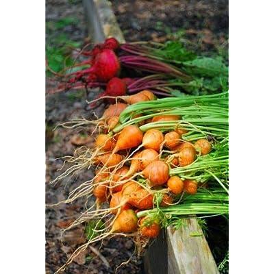 Grandiosy Parisian Carrot Seeds 100 Count PKT Tender Round Globes Sweet & Tasty : Garden & Outdoor