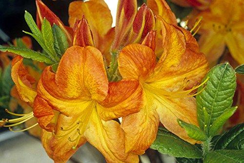 (Deciduous Exbury Azalea Arneson Gem - Rhododendron - Very Hardy -2.5