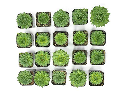 Fractal Succulents (20 Pack) Live Sempervivum Houseleek Succulent Rooted in Pots | Flowering Plant Leaves / Geometric Rosettes by Plants for Pets by Plants for Pets (Image #2)