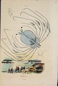 Impresión Antigua de la Bella Arte C1839 de los Pescados de la Pesca de Pyllosome