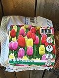 30 Fruit Punch Tulip Bulbs Value Bag!!