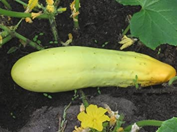 Sch/älgurke Riesensch/äl 30 Samen