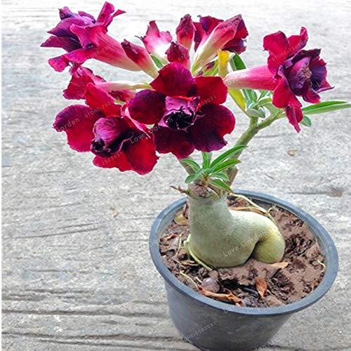 Desert Rose Bonsai Potted Flowers Bonsai Obesum Indoor Bonsai Plant Mini Potted Tree for Home Garden Plant 1 ()