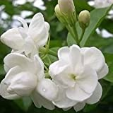 Glamaours 20pcs White Jasmine Flower Seeds, Fragrant Home Garden Plant Arabian Jasmine Seeds Bonsai