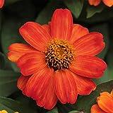 Zinnia Flower Garden Seeds - Zahara Series - Fire - 100 Seeds - Annual Flower Gardening Seed - Zinnia Marylandia