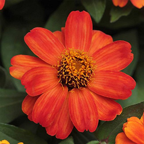 Zinnia Flower Garden Seeds - Zahara Series - Fire - 100 Seeds - Annual Flower Gardening Seed - Zinnia Marylandia by Mountain Valley Seed Company