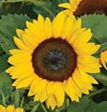 buy David's Garden Seeds Sunflower Sunny Smile D1805R (Yellow) 25 Hybrid Seeds now, new 2018-2017 bestseller, review and Photo, best price $8.49