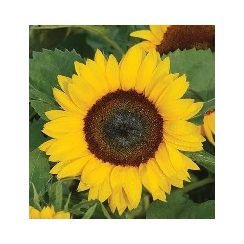 Nice David's Garden Seeds Sunflower Sunny Smile D1805R (Yellow) 25 Hybrid Seeds free shipping