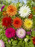 Dahlia Cactus Mix No. 1 (5 pack)