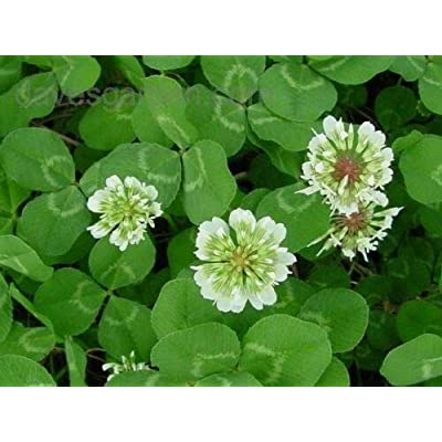 AchmadAnam - Seeds - 15 LBS White Dutch Clover for LAWNS & Ground Cover 800, 000 Seeds PER LB : Garden & Outdoor