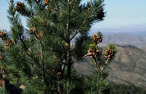 (10 Pinyon Pine Nut Seeds ~ Sustainably Raised Hard Shell Pinus Edulis Bonsai)