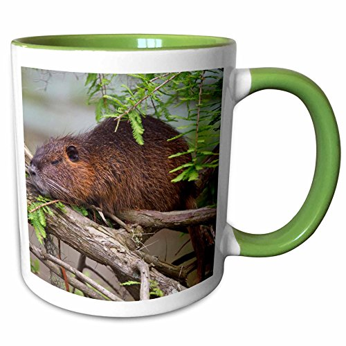 3dRose Danita Delimont - Wildlife - Nutria wildlife sunning in bald cypress, Texas, USA - US44 LDI0598 - Larry Ditto - 11oz Two-Tone Green Mug - Outlet Texas Cypress