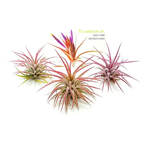 TDG The Drunken Gnome Tillandsia Air Plants Pack, 3 Ioantha Fuego