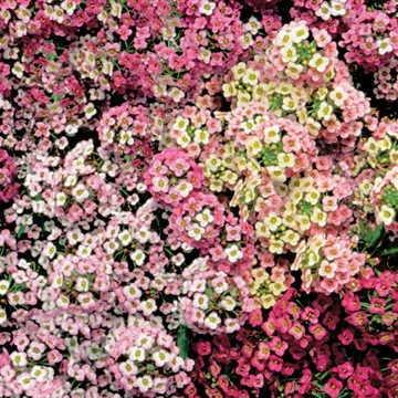 Alyssum Carpet - Park Seed Pastel Carpet Sweet Alyssum Seeds