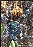 GBB  C. Cyaneopubescens Tarantula notebook: A4