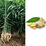 Potato001 Ginger Turmeric Seeds Perennial Vegetables Potted Bonsai Plant Garden Decor
