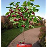 Hemore 10 Seeds Dwarf Cherry Tree Self-Fertile Fruit Tree Indoor/Outdoor Halloween Festival Holiday Decoration Gift
