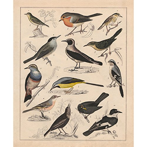 Vintage Posters Prints Art Birds Breeds Collections Identification Reference Diagram Chart Wild Animals Wall Decor