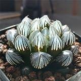 Live Succulent Plant Mini Succulents#190