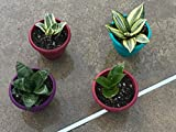 "Snake Plant Hahnii Gold Sansevieria BIRDS NEST, Two sizes, shown in 5"" pot, NASA approved, healthy, rooted, and easy to grow"