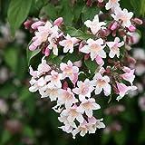 HOT - Beauty Bush - 30 Seeds - Kolkwitzia amabilis - Bonsai or Shrub Linnaea amabilis
