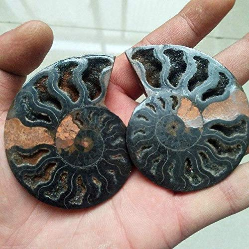 (DN SUPPLY A Pair Conch Slices sNatural Black Iron ore sea Shells were fossilized Mineral specimens feng Shui Shell conchas de mar)