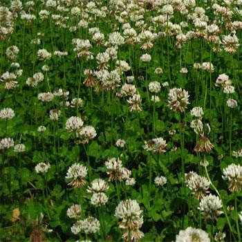 Ladino Clover Seed: Nitro-Coated, Inoculated - 5 LBS