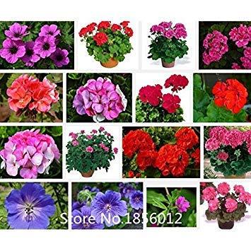 Bonsai Pelargonie Mischfarbe Jahreszeiten Topf Vergossen Pflanzen Geranium Blumensamen Sprieãÿen Pflanze Fash Stã¼cke 100 Samen Lady Balkon 95 AH4ZwZ