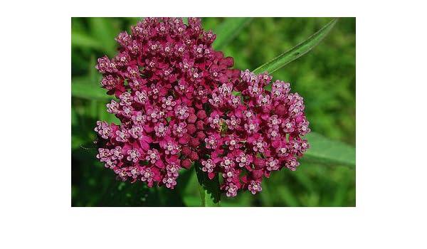 Amazon Milkweed Swamp Milk Weed Pinkred Flower 50 Seeds