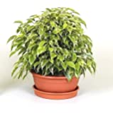 Weeping fig houseplant. Ficus benjamina Kinky in a 17cm Pot