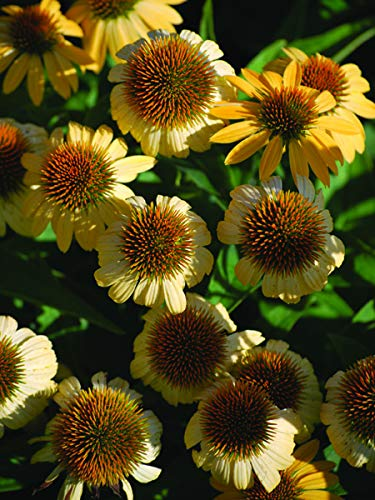 (Perennial Farm Marketplace Echinacea x 'Harvest Moon' ((Big Sky Series Coneflower) Perennial, Size-#1 Container, Golden Yellow Flowers)