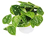Pothos 'Satin' - Live Indoor House Plant - FREE Care Guide - 4'' Pot