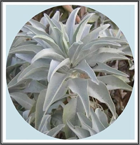 (400mg California White Sage 200+ Seeds~Sacred Salvia Apiana Ceremonial Aromatic)