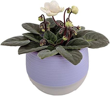 Miniature African Violet in 3 Purple Self-Watering Pot