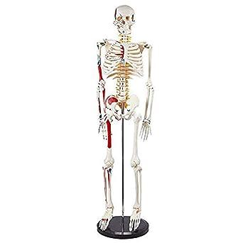 Filoviria Humana Medicina Esqueleto Modelo Humano ...