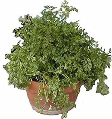 Herbs CHERVIL CURLED 500 SEEDS CULINARY MEDICINAL TEAS Anthriscus cerefolium