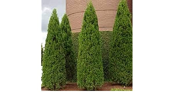 Amazon Com 100pcs New Arborvitae Tree Shrub Bush Evergreen Seed