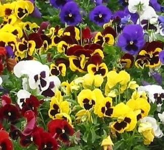 SWISS GIANT PANSY Viola Wittrockiana Rhinegold 100 seeds #1673