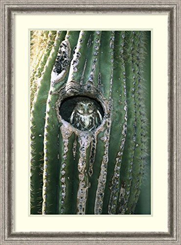 Framed Art Print Ferruginous Pygmy Owl In Saguaro Cactus  Altar Valley  Arizona By Tom Vezo