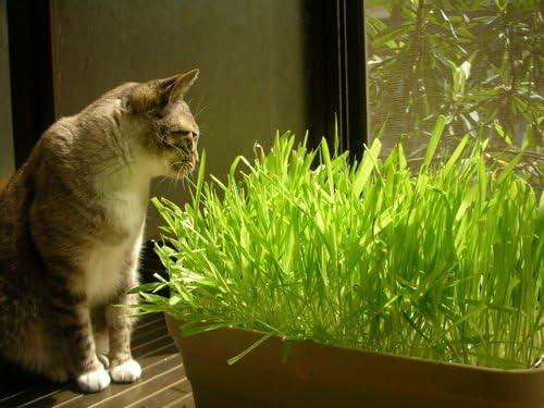 Cat Grass * Ambizu *) 200 semillas de cada unidades gato hierba semillas de césped semillas para su mascota comida para gatos: Amazon.es: Jardín