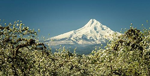 Imagekind Wall Art Print entitled Mt. Hood In Blossoms by Don Schwartz | 32 x 16