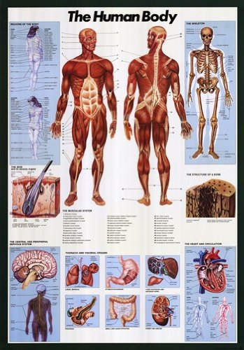 Human Body-Full Color Big Anatomical Poster