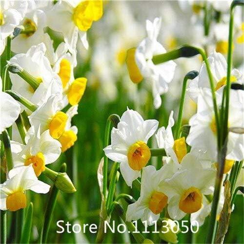 Negro: jardín de invierno de interior flor-venta caliente 1 piezas semillas de narciso bulbos de flores de narciso bonsai diy jardín de su casa para chri: Amazon.es: Jardín