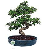 The Bonsai Plants - 7 Years Old Carmona Bonsai Live Real Plant Indoor Outdoor in an Elegant Blue Tray Shaped Original Chinese Ceramic Pot - Low Maintenance - Perfect Gift/Gifting Option